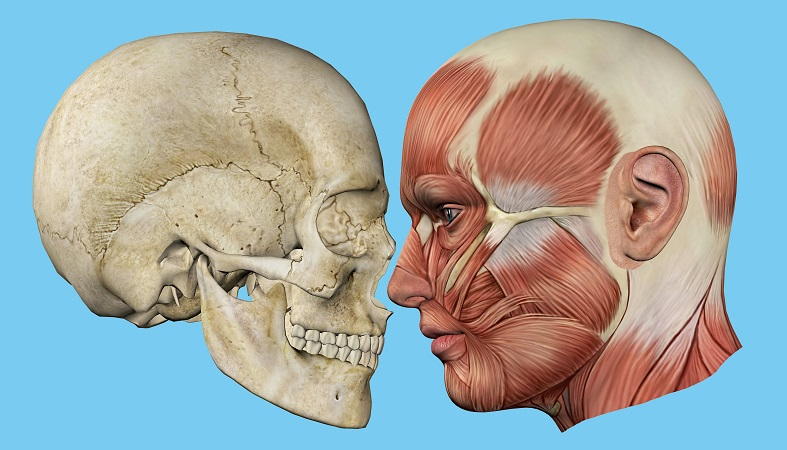 temporalis muscle temporal bone