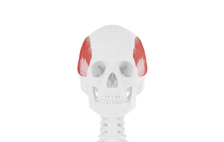 temporalis muscles skull temporal bone