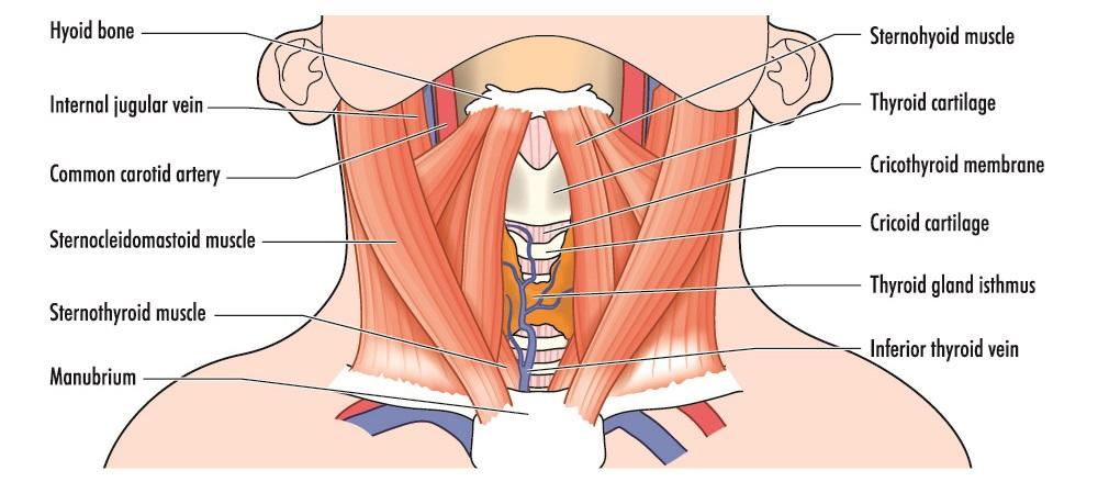 throat larynx hyoid bone thyroid cricoid cartilage