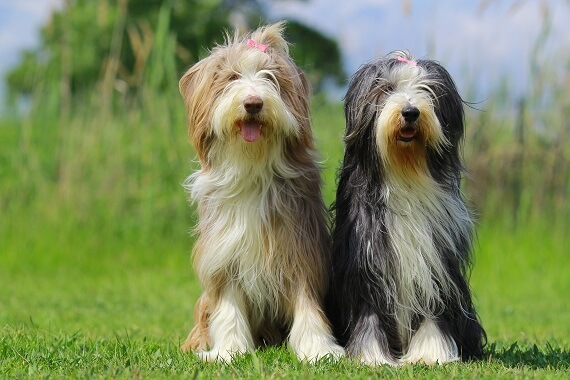 Two bearded collies - one tan and white, and one black and white.