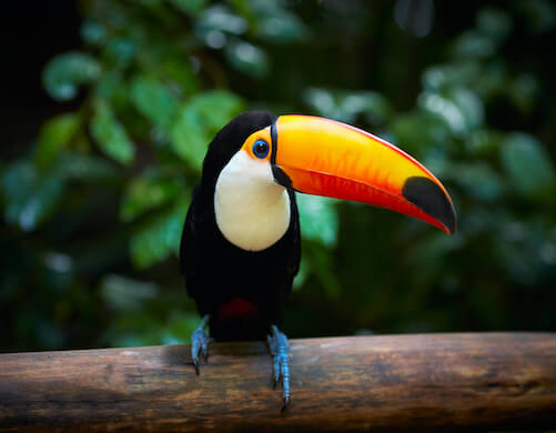 A toco toucan perched on a branch in a forest