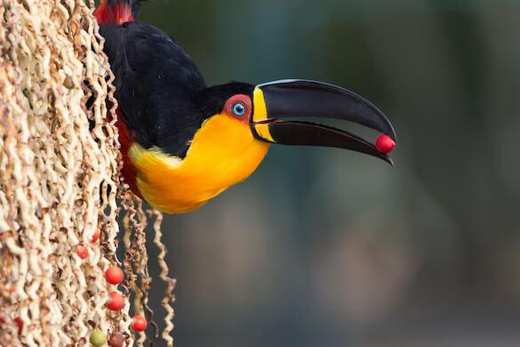 An ariel toucan eating a piece of fruit