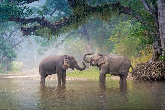 Two Asian elephants playing in water