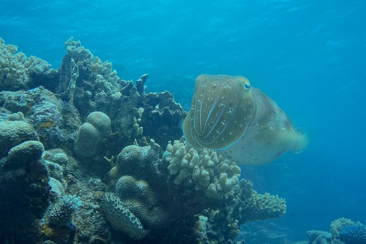 An Australian Giant Cuttlefish moving over a reef