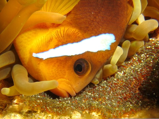 A male clownfish caring for its eggs next to an anemone.
