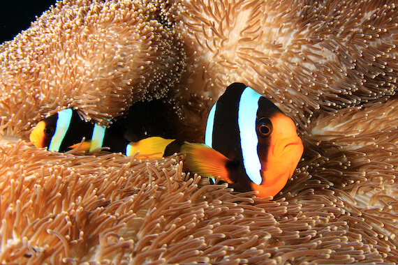 A pair of clownfish in an anemone.