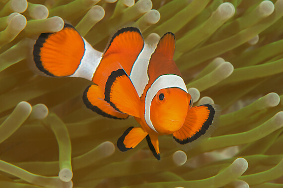 An ocellaris clownfish swimming out of a sea anemone.