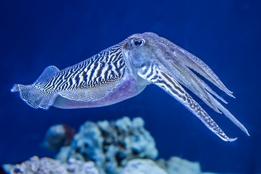 A common cuttlefish on a reef