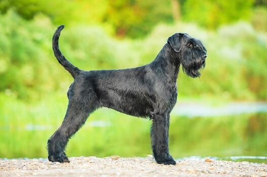 A Giant Schnauzer in a park