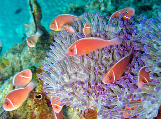 A group of clownfish swimming around an anemone in the ocean.