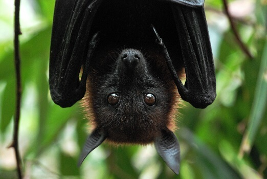 An Indian flying fox hanging upside down