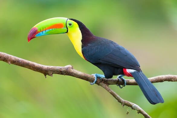 A keel-billed toucan perched on a branch in a forest