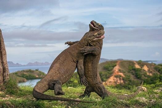 Two komodo dragons fighting