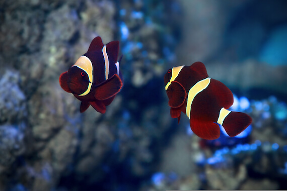 Two maroon clownfish swimming in the ocean.