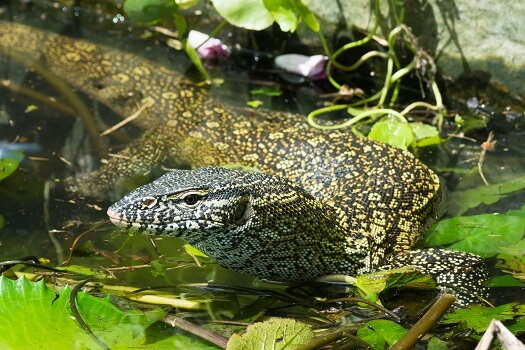 A Nile monitor is a river
