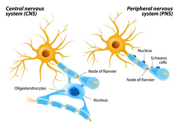 Schwann cells are similar to oligodendrites, though they are only found in the peripheral nervous system and do not connect multiple nerves together