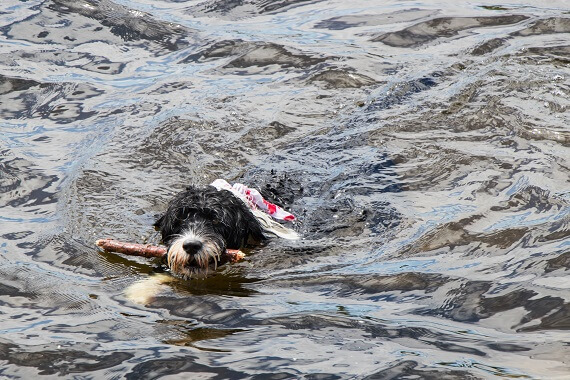 A Portuguese water dog swimming with a stick in its mouth.