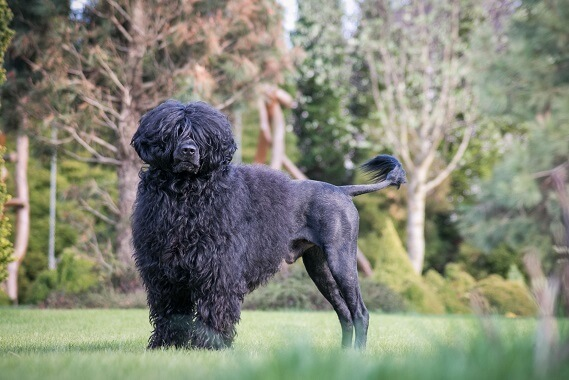 A Portuguese Water Dog with a lion clip haircut.