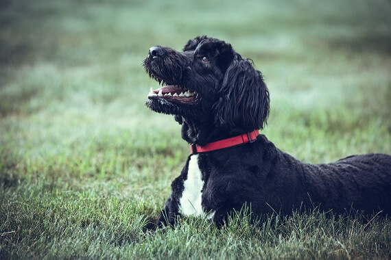 A Portuguese Water Dog lay in the grass.