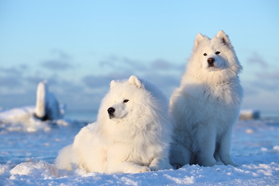 Two samoyeds in the snow