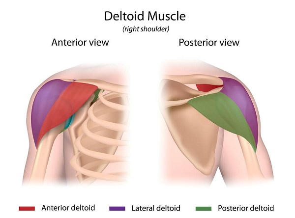 The deltoid muscle has three parts: the anterior deltoid, posterior deltoid, and the intermediate (or lateral) deltoid.