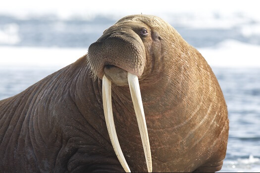 A male walrus with long tusks