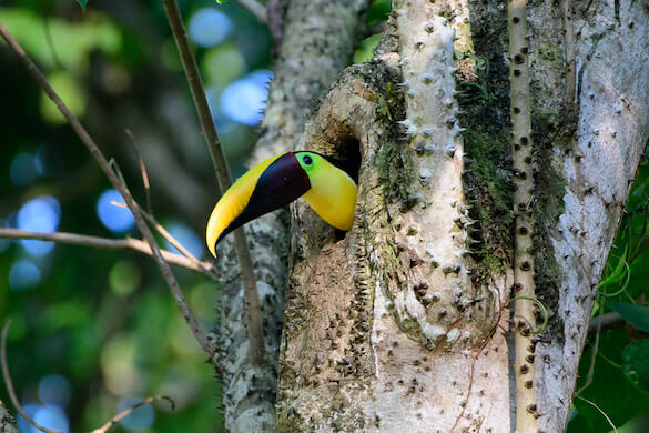 A yellow-throated toucan peering out of a tree cavity