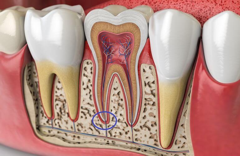 apical foramen teeth dental root pulp gum alveolar bone tissue crown molar incisor