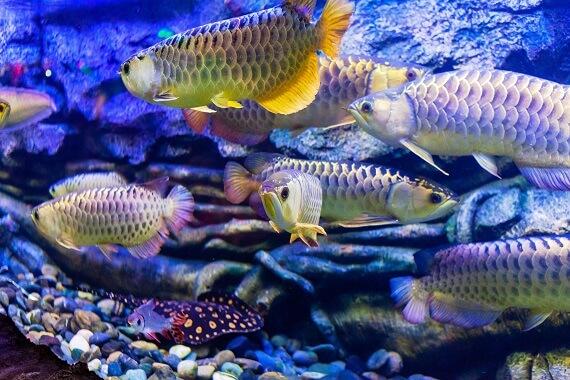 An aquarium full of different arowanas