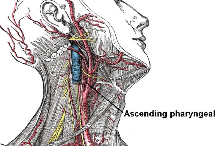ascending pharyngeal artery neck