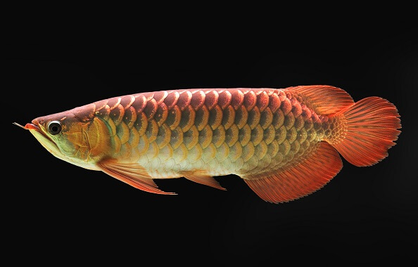 An Asian arowana displaying its large red tinged scales