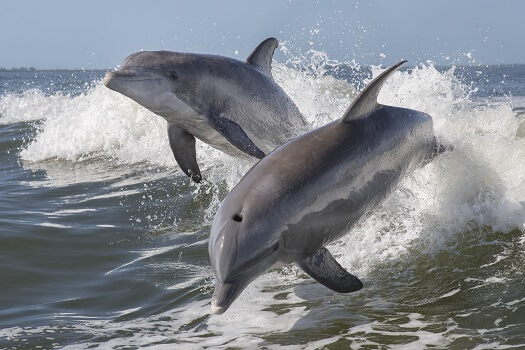 Two bottlenose dolphins jumping out the waves