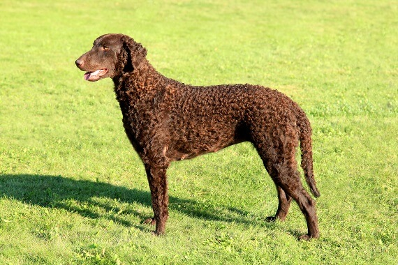 A brown adult curly coated retriever on grass