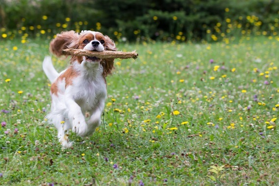 A cavalier king charles spaniel running with a stick in its mouth