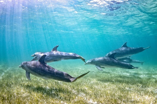 A pod of dolphins in a seagrass meadow