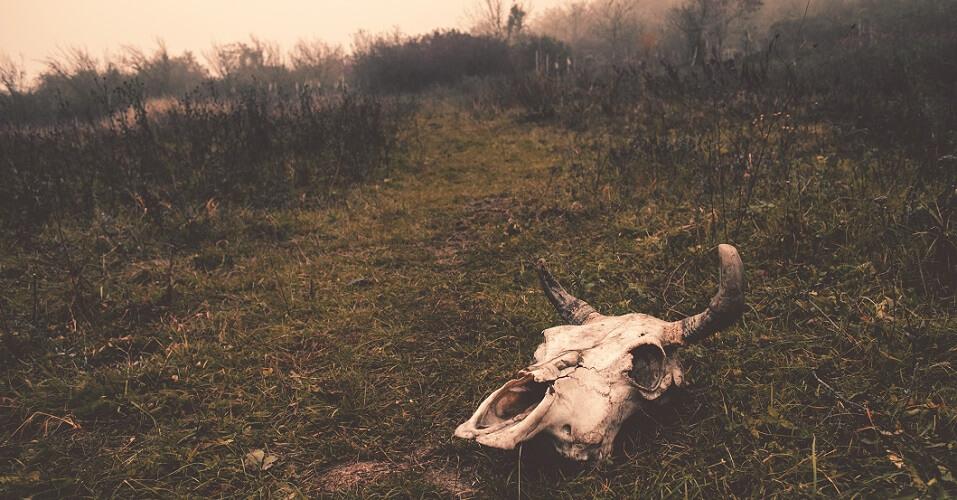 cow skull grass horns