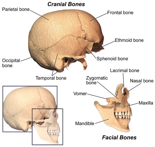 cranial bones facial skull neurocranium viscerocranium calvarium base floor vault