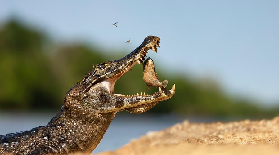 crocodile jaw mandible maxilla force power
