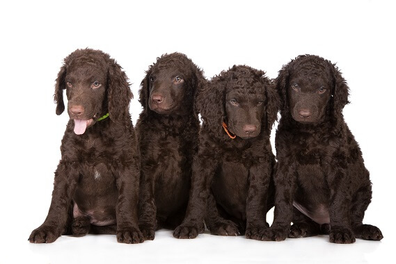 Four curly coated retriever puppies