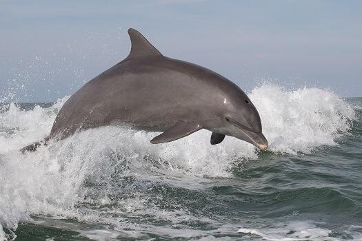 A dolphin porpoising