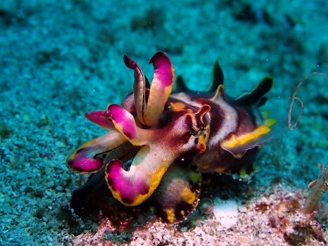 A flamboyant cuttlefish on a reef