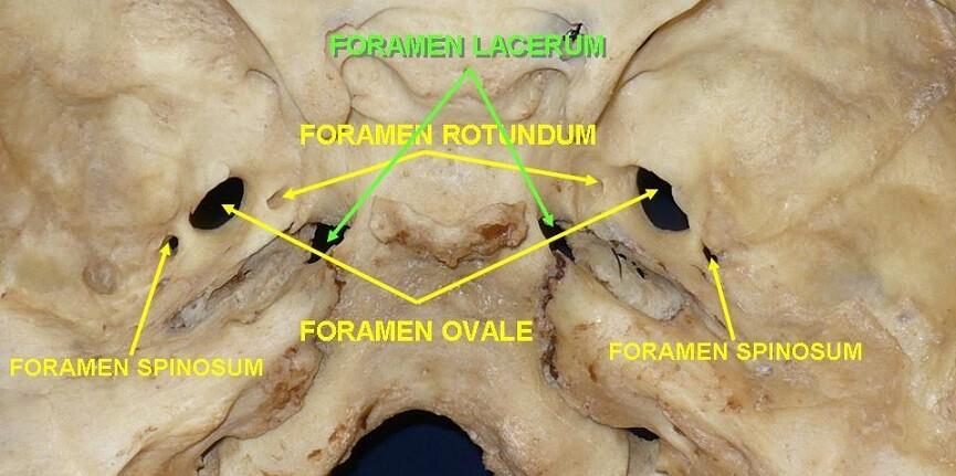 Position of various foramina