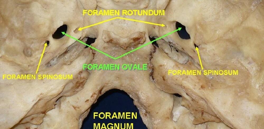 sphenoid occipital bone foramen foramina ovale rotundum magnum spinosum
