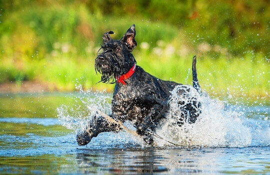 A Giant Schnauzer playing in the water