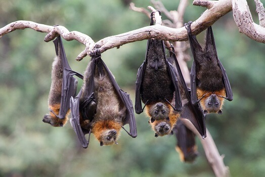 5 roosting grey-headed flying foxes.