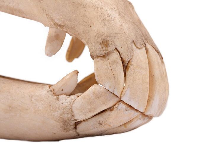 horse teeth dental