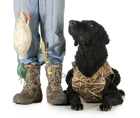 A curly coated retriever in a hunting harness sat next to its owner who is holding a bird