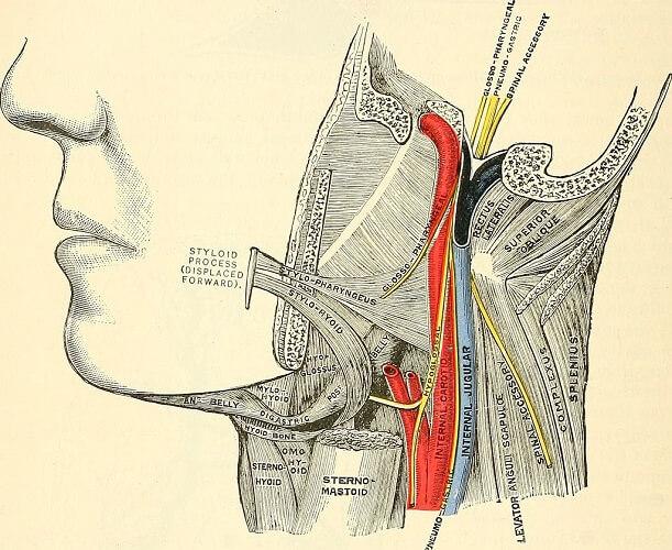 jugular carotid artery vein neck