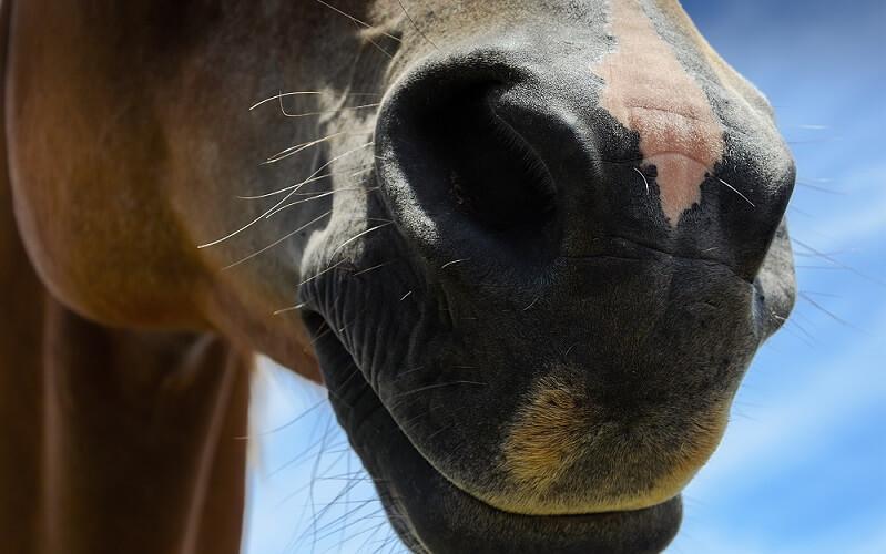dilate nostrils levator labii horse
