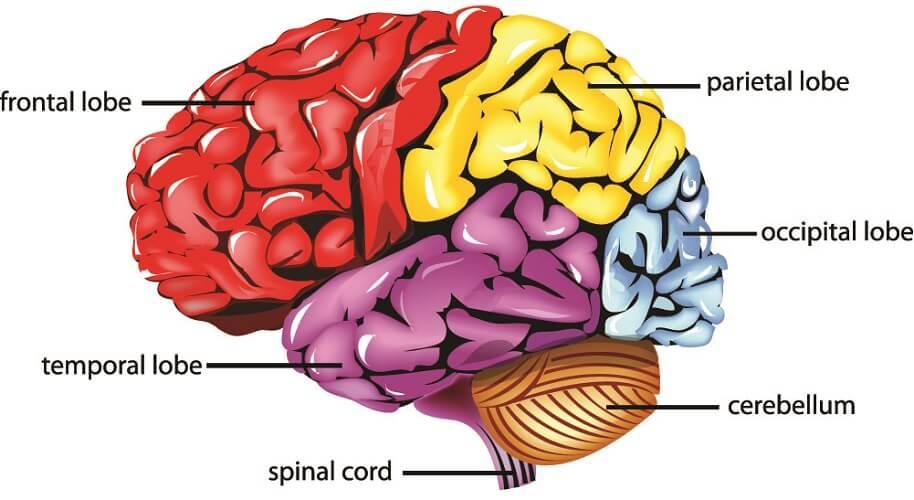 brain lobes temporal frontal parietal bone occipital